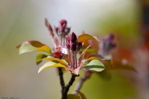 Fleur du pommetier