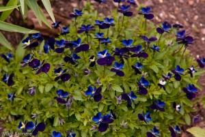 violettes?