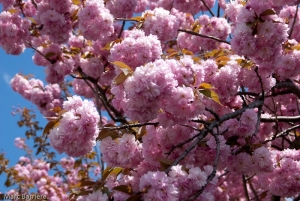 pommier, fleurs doubles