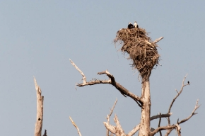 Balbuzard dans son nid