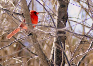 Cardinal - photo du webmestre -